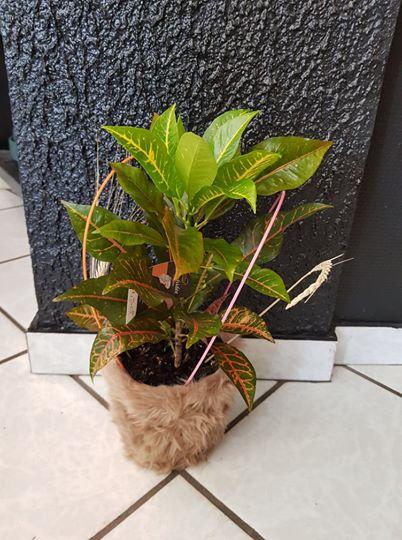 Croton avec cache pot fourrure